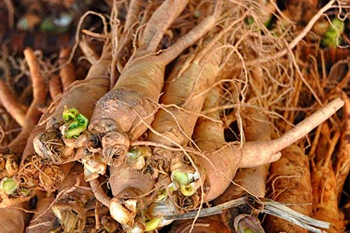 How To Grow Ginseng At Home Mental Scoop