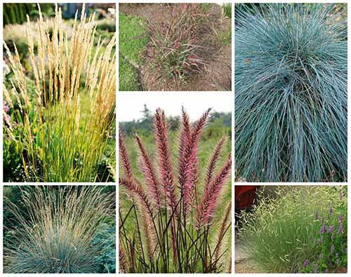 10 Top Ornamental Grasses Mental Scoop