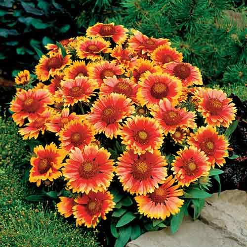 7 perennials that will bloom multiple times this summer mental scoop blanket flower mightylinksfo