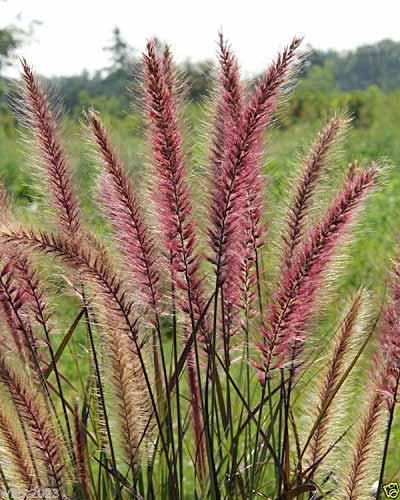 10 top ornamental grasses mental scoop karley rose fountain grass workwithnaturefo