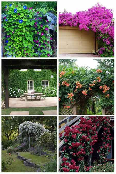 12 Best Climbing Plants for Pergolas and Arbors - 12 Best Climbing Plants For Pergolas And Arbors - Page 2 Of 2